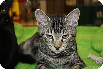 Domestic Shorthair Cat for adoption in Little Falls, New Jersey - Docker (LE)