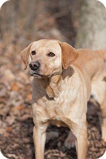 Labrador Retriever Mix Dog for adoption in Lewisville, Indiana - Bobo