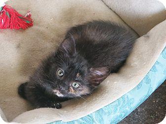 Domestic Shorthair Kitten for adoption in Bentonville, Arkansas - Lottie