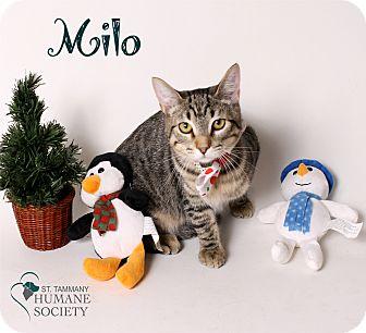 Domestic Shorthair Cat for adoption in Covington, Louisiana - Milo