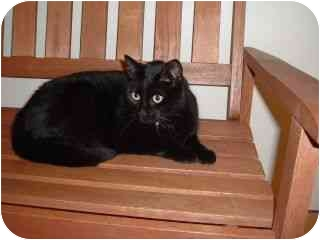 Domestic Shorthair Cat for adoption in Peabody, Massachusetts - Cubby