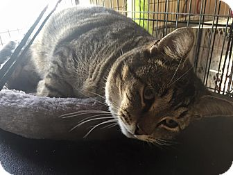 Domestic Shorthair Cat for adoption in Middletown, Ohio - Ox