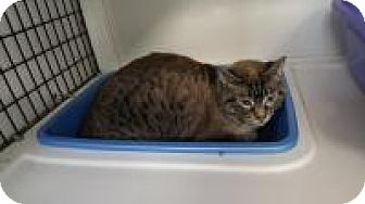 Domestic Shorthair Cat for adoption in La Grange Park, Illinois - Winston