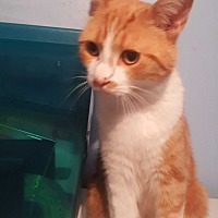 Domestic Shorthair Cat for adoption in Livonia, Michigan - Kayden