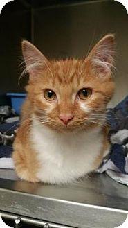 Domestic Mediumhair Kitten for adoption in Adrian, Michigan - Nike