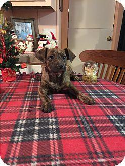 Labrador Retriever/Catahoula Leopard Dog Mix Puppy for adoption in Glastonbury, Connecticut - Saxon