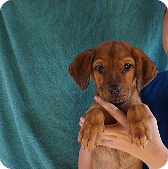 Labrador Retriever/Golden Retriever Mix Puppy for adoption in Oviedo, Florida - Cutie