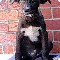 Adopt A Pet :: Lion - Waldorf, MD