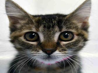 Domestic Shorthair Kitten for adoption in Fort Lauderdale, Florida - SARAH