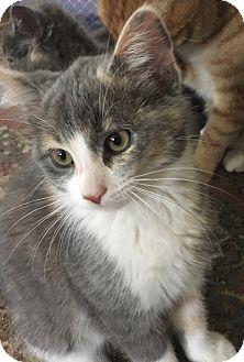 Domestic Shorthair Kitten for adoption in Lombard, Illinois - Snowdrop