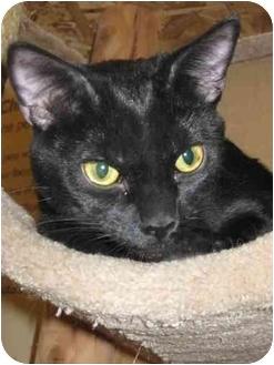 Domestic Shorthair Cat for adoption in Las Vegas, Nevada - Scone
