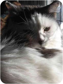 Persian Cat for adoption in Cincinnati, Ohio - Nettie: Declawed, Loves Kids!