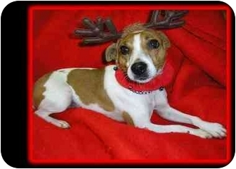Jack Russell Terrier Dog for adoption in Omaha, Nebraska - Maggie