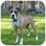 Photo 4 - Boxer/American Bulldog Mix Dog for adoption in Mocksville, North Carolina - Providence