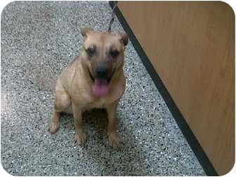 Pit Bull Terrier Mix Puppy for adoption in Chicago, Illinois - Pumpkin