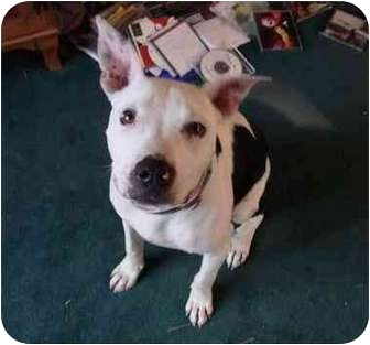 Pit Bull Terrier Mix Puppy for adoption in Portland, Oregon - Buddy