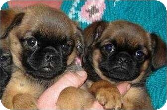 Brussels Griffon Puppy for adoption in Hammonton, New Jersey - Ava & Emma