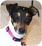 Jack Russell Terrier/Smooth Fox Terrier Mix Dog for adoption in Bellflower, California - Ruby