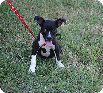 Border Terrier Mix Dog for adoption in Muldrow, Oklahoma - Alvin