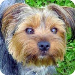 Yorkie, Yorkshire Terrier Dog for adoption in Lake Arrowhead, California - Bailey