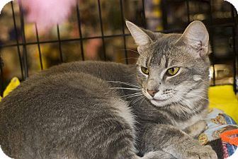 Domestic Shorthair Cat for adoption in New Port Richey, Florida - Astro