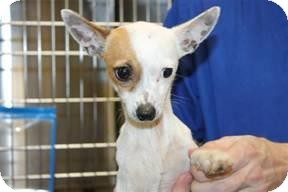 Chihuahua Mix Dog for adoption in Wallingford Area, Connecticut - Duncan