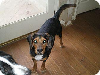 Beagle/Hound (Unknown Type) Mix Dog for adoption in Apex, North Carolina - Cofax