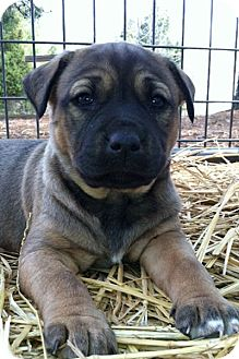 Shepherd (Unknown Type) Mix Puppy for adoption in East Hartford, Connecticut - JANELLE ADOPTION PENDING