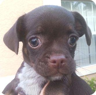 Pug/Dachshund Mix Puppy for adoption in Orlando, Florida - Lele#2F