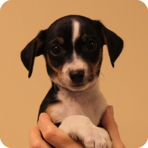 Rat Terrier Mix Puppy for adoption in Naperville, Illinois - Bella's Pup: George