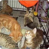 Adopt A Pet :: LOTS OF KITTENS - Little Neck, NY