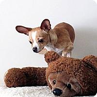 Adopt A Pet :: Stitch - Mt Gretna, PA