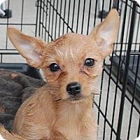 Adopt A Pet :: Petunia - Albany, NY