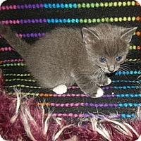 Adopt A Pet :: Coraline Kitten #3 - Yakima, WA