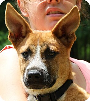 Border Collie/German Shepherd Dog Mix Puppy for adoption in Chicago, Illinois - Casper