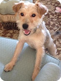 Yorkie, Yorkshire Terrier/Silky Terrier Mix Dog for adoption in New Jersey, New Jersey - Middletown NJ - Freddie