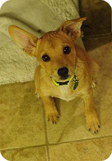 Border Terrier/Australian Terrier Mix Puppy for adoption in Nashville, Tennessee - Rosie