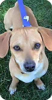Dachshund Mix Dog for adoption in Sacramento, California - Fredrick!