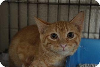 Domestic Shorthair Kitten for adoption in Henderson, North Carolina - Simon*