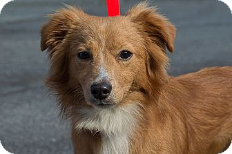 Sheltie, Shetland Sheepdog Mix Puppy for adoption in West Milford, New Jersey - LOGAN-pending