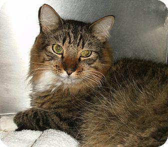 Domestic Longhair Cat for adoption in El Cajon, California - Fletch