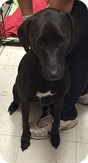 Coonhound/Labrador Retriever Mix Dog for adoption in Monroe, Michigan - Daisy