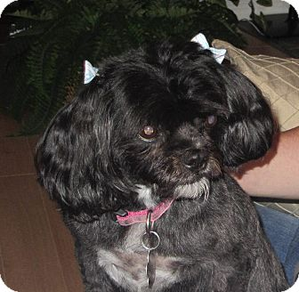 Shih Tzu/Poodle (Miniature) Mix Dog for adoption in Regina, Saskatchewan - Katie - Adoption Pending