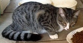 Domestic Shorthair Cat for adoption in Chattanooga, Tennessee - Spunky