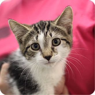 Domestic Shorthair Kitten for adoption in South Haven, Michigan - Jack Daniels