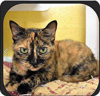 Domestic Shorthair Cat for adoption in Seville, Ohio - Mary