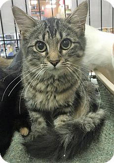 Domestic Shorthair Kitten for adoption in North Wilkesboro, North Carolina - Shelly