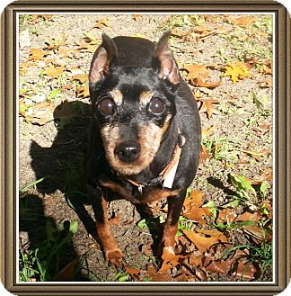 Miniature Pinscher Dog for adoption in Holland, Ohio - Blanche