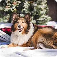 Sheltie, Shetland Sheepdog Dog for adoption in Chesapeake, Virginia - Patrick
