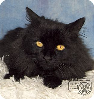 Domestic Mediumhair Cat for adoption in Divide, Colorado - Silent Night